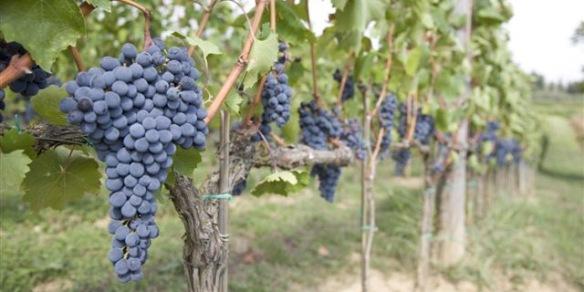 Grapes on vines 100x200 sept 2011 NL